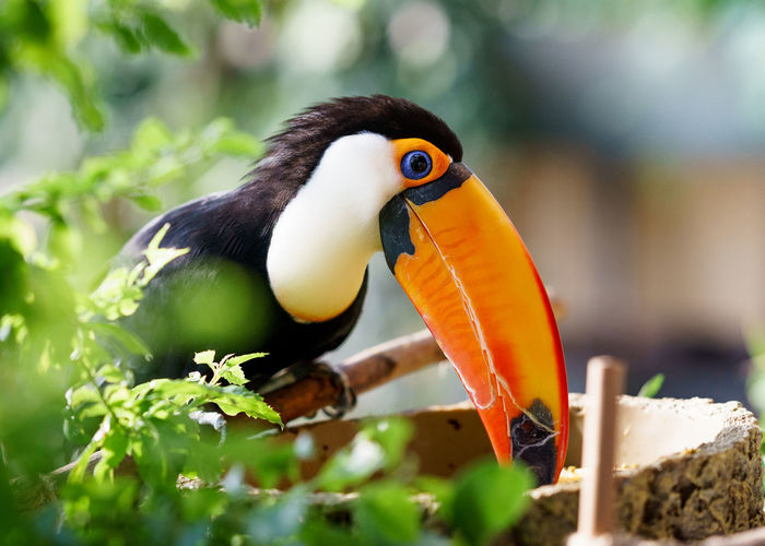This is the largest species of toucan in the world Animals In The Wild Beauty In Nature Bird Eat Eye Green Orange Color Toucan Tree Wild Wild Nature