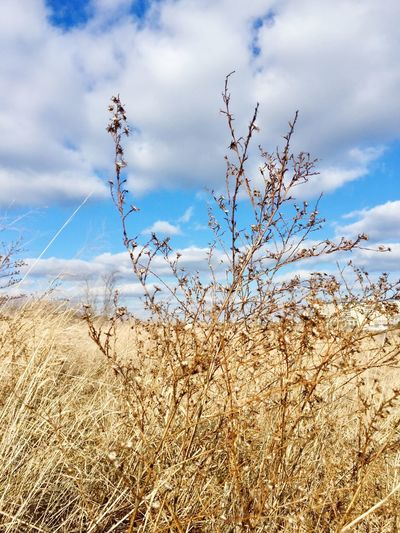 Grass Dried Plant Sky Nature Cloud - Sky Tranquility Beauty In Nature Day Tranquil Scene Landscape Scenics Plant Outdoors