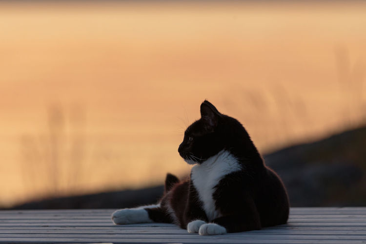 Selective focus shot of a black and white cat resting on a jetty by a lake during sunset