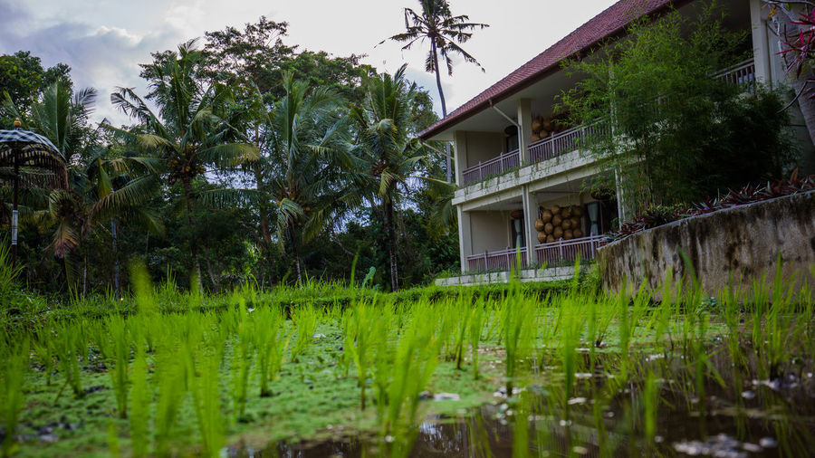 Rice Fields - Closer Architecture Building Exterior Built Structure Cloud - Sky Day Exterior Field Grass Grassy Green Color Growing Growth House In Front Of Nature No People Obsolete Outdoors Residential Structure Rice Field Rural Scene Sky Tree Ubud, Bali The Traveler - 2018 EyeEm Awards