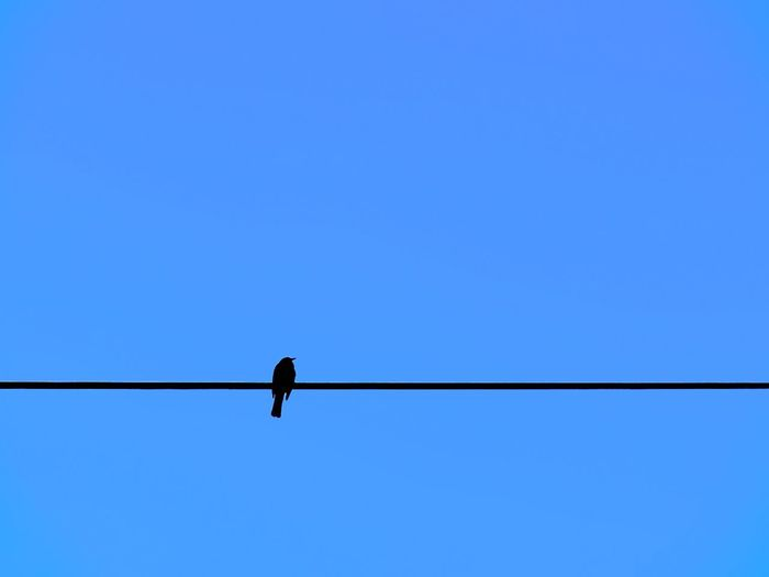 Beauty In Nature Bird Bird Silhouette Birdwatching Blue Blue Sky Cable Clear Sky Deceptively Simple Adapted To The City Low Angle View Nature Nature On Your Doorstep Negative Space Power Line  Silhouette Silhouette_collection Simplicity Sitting Sitting Bird Sky Urban Urban Nature Walking Around Minimalism