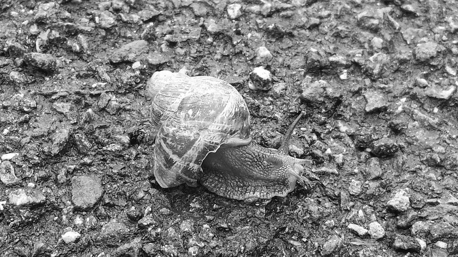 Snail🐌 Rocky Road Walker Black & White Ground Cover Animal Photography Snailfriend