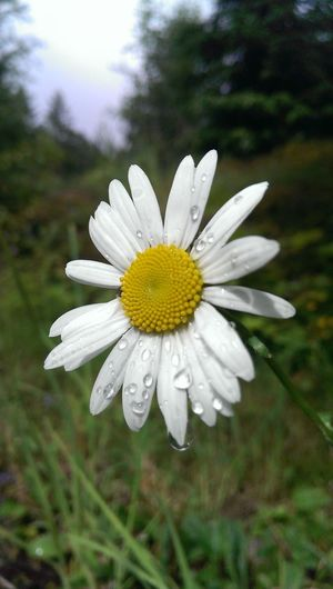 Beauty In Nature Blooming Close-up Flower Flower Head Freshness Nature Prestekrage White Color