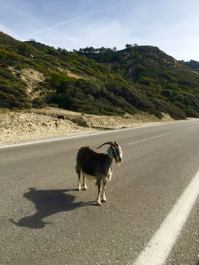 Animal Asphalt Beauty In Nature Country Road Domestic Animals Goat Landscape Mammal Nature No People Non-urban Scene Outdoors Pets Rhodes Road Ródos On The Road