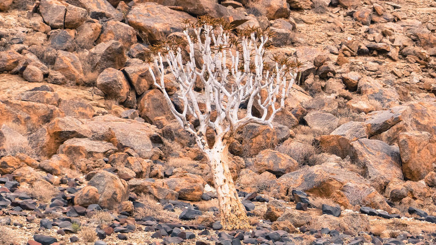 Quivertree in Rocks, South Namibia Arid Climate Arid Landscape Backgrounds Brown Cliff Close-up Desert Full Frame Geology Growth High Angle View Nature No People Non-urban Scene Outdoors Plant Quivertree  Rock Rock - Object Rock Formation Rocky Rough Scenics Tranquility Tree