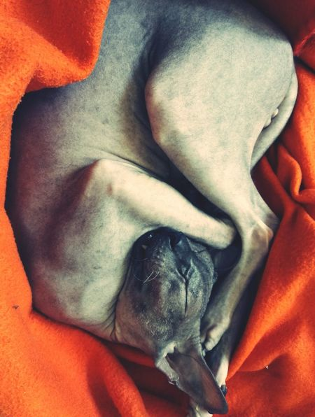 Sleeping beauty 😍 No People Domestic Animals Pets Animal Themes Close-up Indoors  Cat Cats Of EyeEm Don Sphynx Sphynx Cat Meow🐱 Pet Portraits