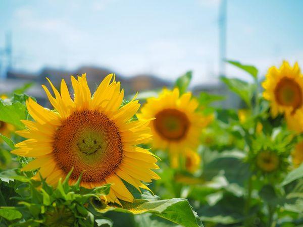 貴方のその素敵な笑顔、 Smile Sunflower Flower Yellow Plant Petal Freshness Flower Head Outdoors Fragility Day Close-up Leaf Sky No People Summer Olympus OM-D E-M5 Mk.II 僕が独り占めしてもいいですか?