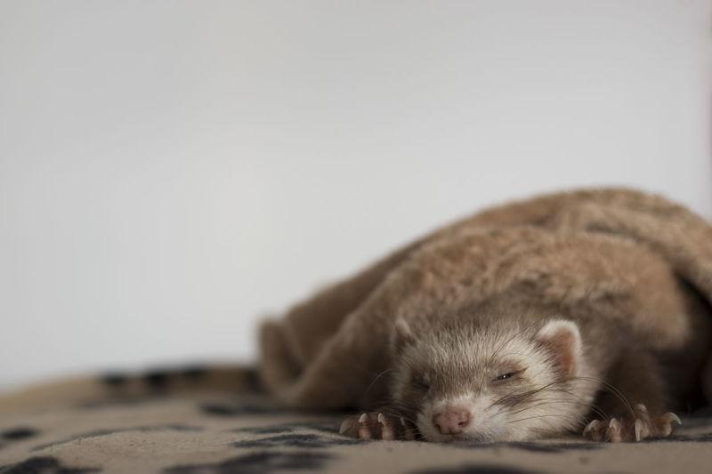 EyeEmNewHere Ferret Pet Photography  Relaxing Frettchen Pet Sleeping Sleeping Pet White Background