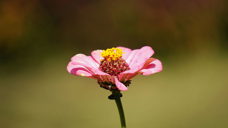 Beautiful Pink Nwin Photography Sony A6000 Pink Flower EyeEm Flower Sony EyeEm Selects Flower Petal Pink Color Fragility Nature Plant Flower Head Beauty In Nature Uncultivated No People Freshness Growth Tranquility Close-up Day Outdoors Defocused Zinnia  Eastern Purple Coneflower