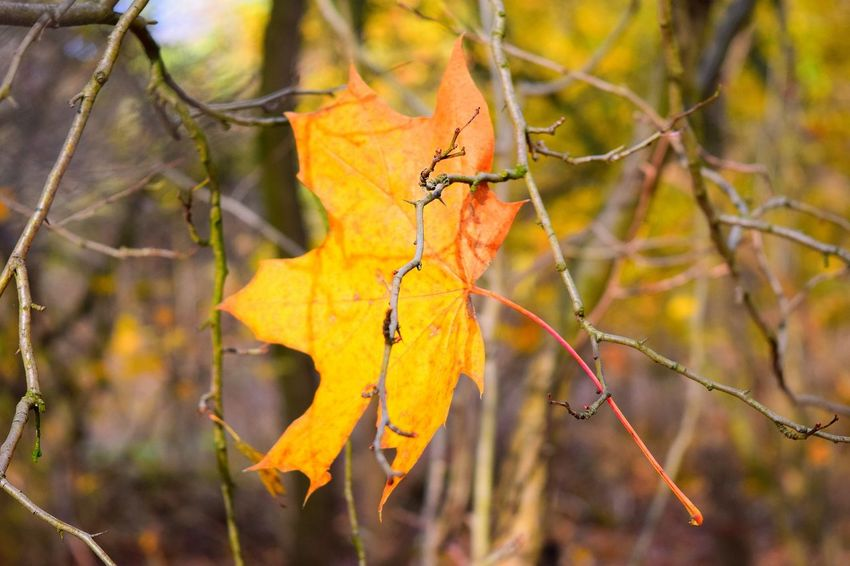 Leaf Yellow Change Close-up Outdoors Beauty In Nature November2016 Autumn 2016 Autumn Weather Nature Get Closer Autumn🍁🍁🍁 Bokeh Autumn Eyeemphoto From My Point Of View Orange Color Leaves