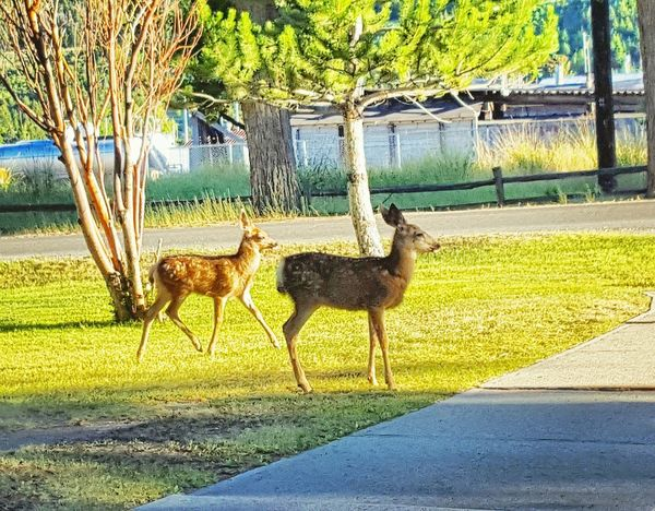 Deer Milenamulskephotography Check This Out Montana Walking Around Town Baby Deer Bambi Taking Photos Wildlife Photography Wildlife Watching Wildlife In The City Wildlife In Residential Area Two Is Better Than One