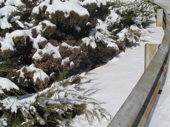 Snow Plant Cold