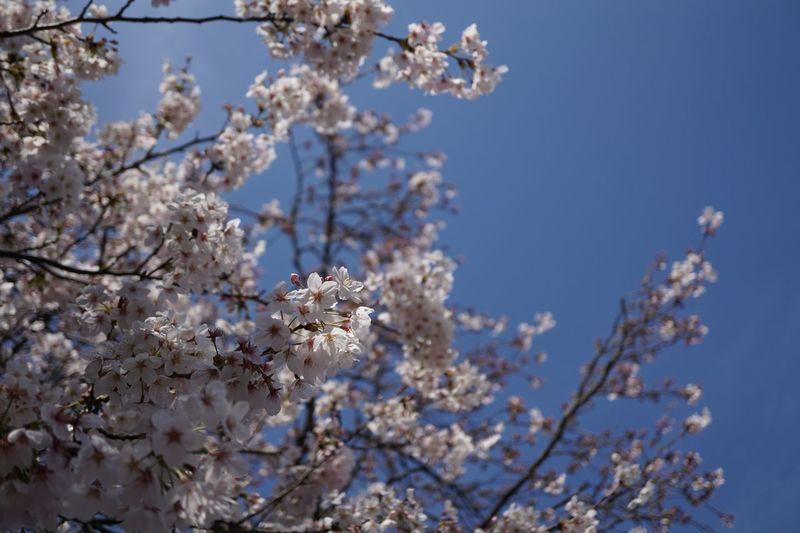 Sky Flower Blossom Cherry Blossom Fragility Branch Springtime Tree Nature