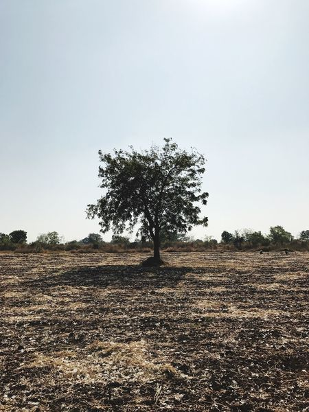 Tree Nature Tranquility Growth Tranquil Scene Landscape Field Beauty In Nature No People Clear Sky Scenics Day Outdoors Plowed Field Sky Single Tree Olive Tree