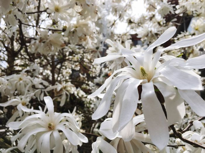 Magnolia_Blossom Flower White Color Blossom Fragility Springtime Petal Beauty In Nature Apple Blossom Tree Flower Head Growth Nature Botany Freshness