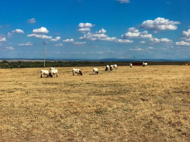 Landscape Field Animal Themes Cloud - Sky Mammal Domestic Animals Nature Grass Cow Livestock Grazing Scenics Rural Scene Large Group Of Animals Halter Bull Cabestros Dehesa Countryside Toros Cows Cows Grazing Cattle Farm Animals In The Wild The Week On EyeEm