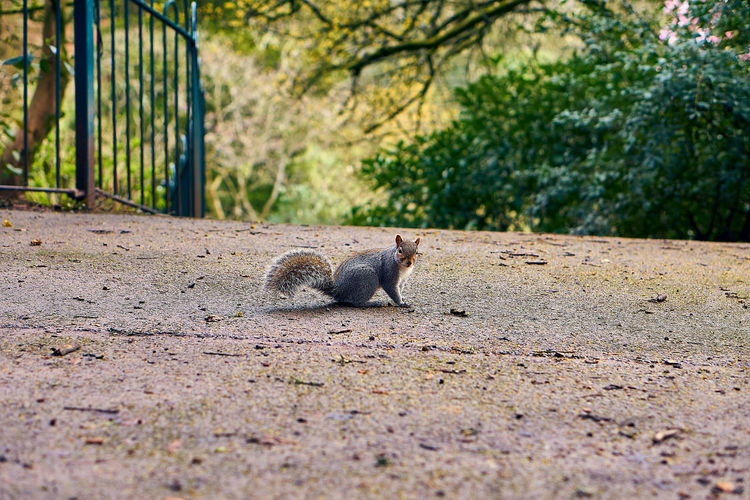 View of squirrel on ground