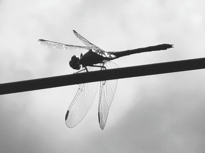 Insect Dragonfly Insecto Libélula