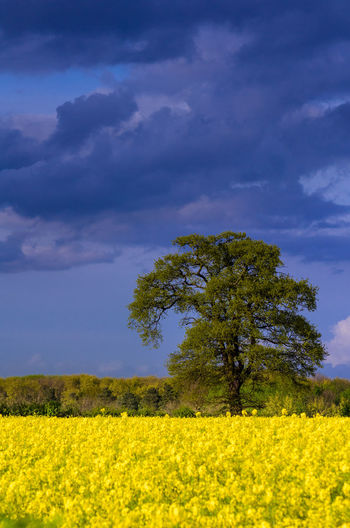 Large tree over blooming rapeseed field under intense cloudy sky Plant Yellow Landscape Environment Land Field Beauty In Nature Sky Flower Scenics - Nature Tree Oilseed Rape Growth Nature Cloud - Sky Flowering Plant Tranquility Tranquil Scene Rural Scene Agriculture No People Springtime Outdoors Blooming