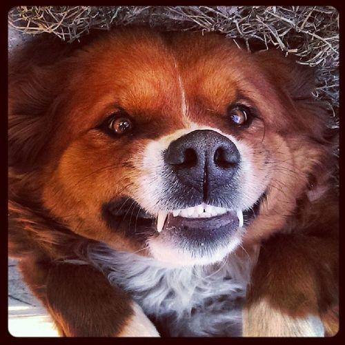 Vampire Dog Smiling