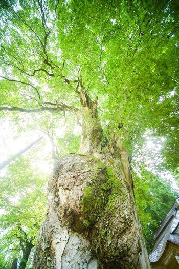 御神木に触れてみたら、なんだか水音が聞こえたような気がした。 WoodLand Shinto Shrine WoodLand Sacred Sacred Places Sacred Tree Praying Tree Plant Water Green Color Nature Beauty In Nature Day Growth Forest No People High Angle View Outdoors Land Tranquility Branch Trunk