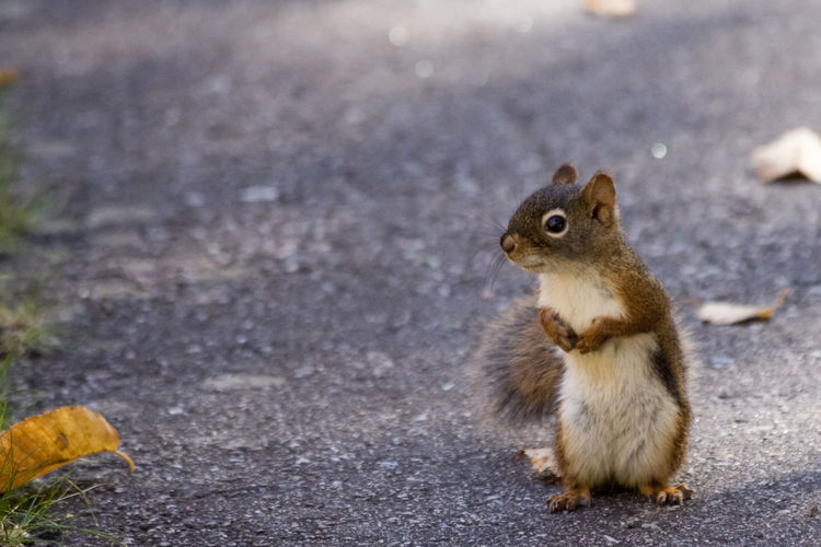 Curious squirrel Animals In The Wild Autumn Nature Standing Animal Themes Animal Wildlife Animals In The Wild Close-up Curious Day Food Leaves Mammal Nature No People One Animal Outdoors Small Squirrel Street