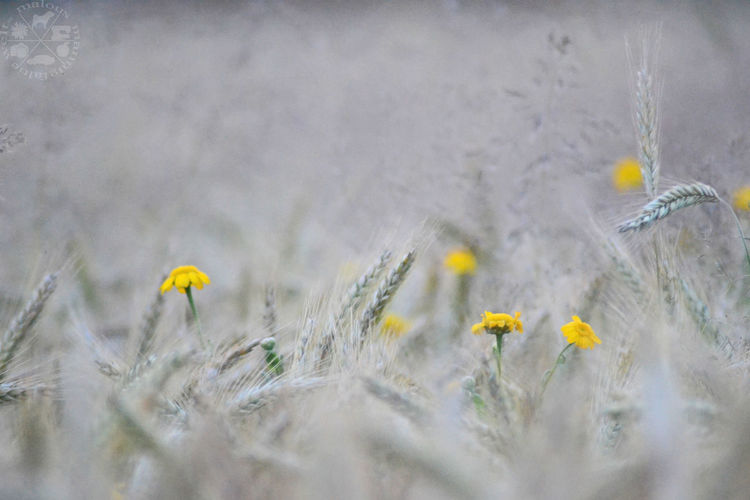 Splash of color 😍. Nature Photography Nature_collection Natur Nature Flower Collection Flower Photography Blume Flower Macro Macro Photography Flowers Blumen Flora Blüte Blossom Yellow Yellow Flower Field Feld