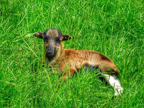 Lamm Lamb Babylamb Baby Lamb Animal Photography Animal Animals