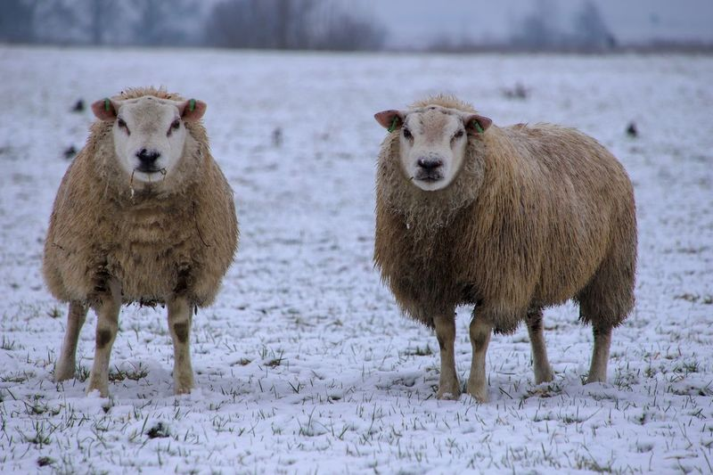 Curious sheep Animal Themes Animal Group Of Animals Snow Mammal Winter Cold Temperature Livestock Sheep Two Animals Land Nature Field Vertebrate Herbivorous Focus On Foreground Looking At Camera