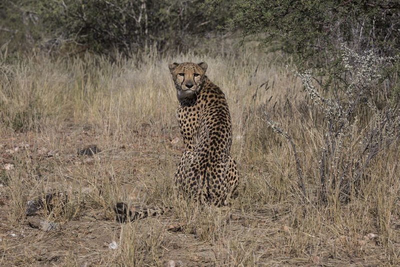Cheetah is looking into Camera Lens Looking At Camera National Park Africa Animal Themes Animal Wildlife Animals In The Wild Bush Cheetah Close Up Day Feline Grass Leopard Looking At Camera Mammal Nature No People One Animal Outdoors Photography Portrait Safari Adventure Safari Animals Spotted