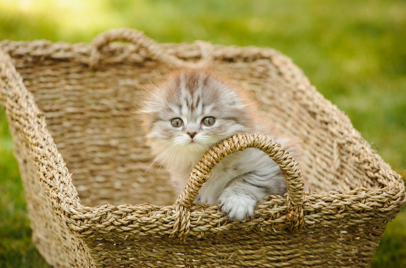 Grey Scottish Fold kitten looking out of a basket Animal Themes Animal Cat Feline Basket One Animal Domestic Cat Looking At Camera Portrait Domestic Container No People Day Close-up Wicker Kitten Animal Head  Pets Scottish Fold Scottish Fold Cat Grey Cat Kitty Cute