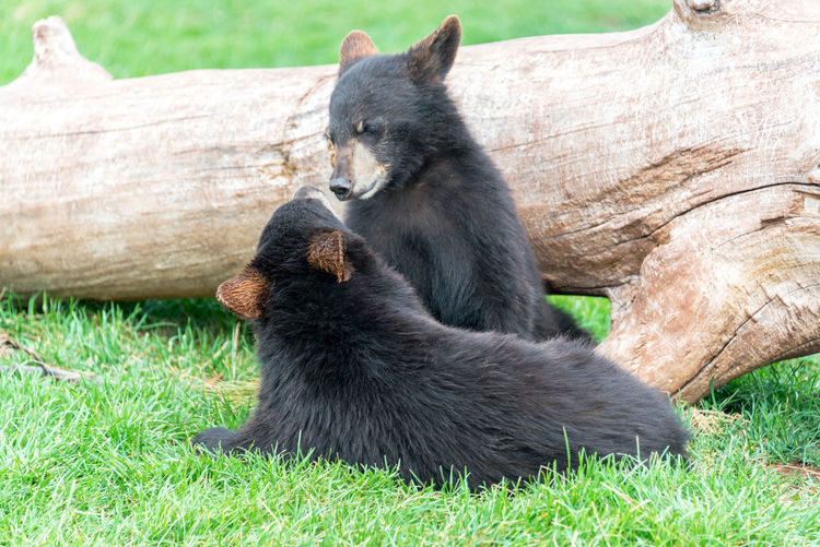 Bear cubs playing on grassy field by log at black hills