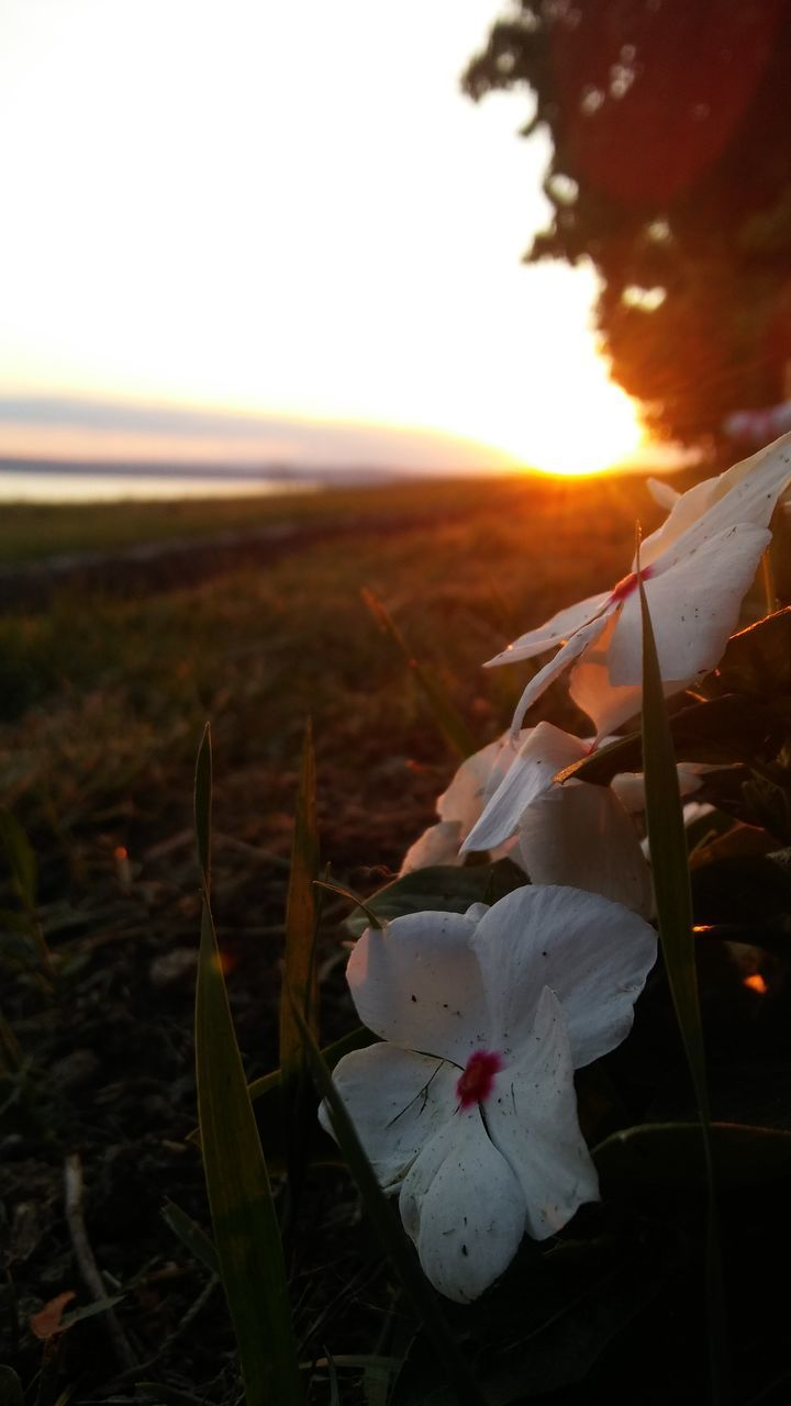 nature, flower, sunset, beauty in nature, growth, field, petal, close-up, outdoors, fragility, plant, grass, flower head, sky, no people, scenics, freshness, day