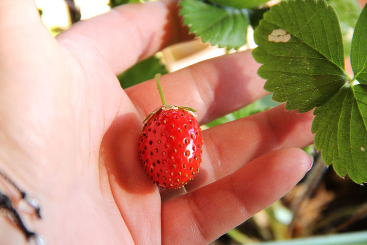 Mara Des Bois Bioculture Biologic Biologic Food Close-up Day Food Food And Drink Freshness Fruit Healthy Eating Human Body Part Human Finger Human Hand Leaf Lifestyles Nature Real People Red Strawberry Urbangarden