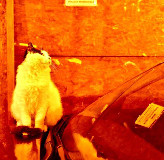 """ナポリのねこちゃん #ナポリのねこちゃん #ナポリ猫 #猫 #gatto #cat #猫部 #ねこすたぐらむ #ねこのきもち #ねこ写真 #三軒茶屋 #イタリアン #イタリア #イタリア郷土猫 #ペペロッソ #peperosso #太子堂 三軒茶屋のイタリア郷土料理店ペペロッソ Ristorante regionale italiano """"PEPE ROSSO"""" https://www.peperosso.co.jp/ Webマガジン 「SHOP ITALIA ~あなたが知らないイタリアここにあります」にてイタリアについて執筆させていただいております https://shop-italia.jp/author/28 Cat Domestic Pets Mammal Domestic Animals Animal Themes One Animal Animal Domestic Cat Vertebrate No People Sitting Car High Angle View Mode Of Transportation Indoors  Cat Feline Transportation Nature Motor Vehicle"""