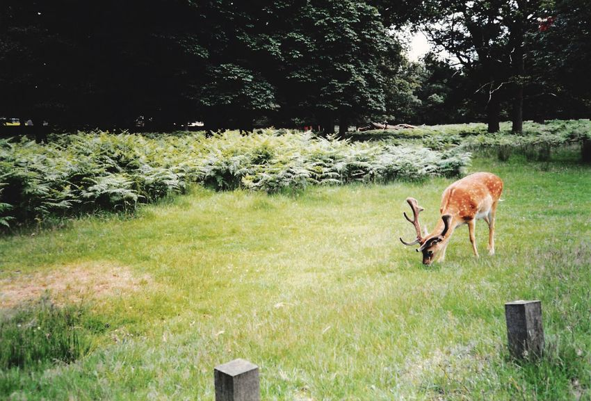 Deer Walking Old Family Pictures Deersighting Outdoors Ferns Clearing Animalsfromthe90s