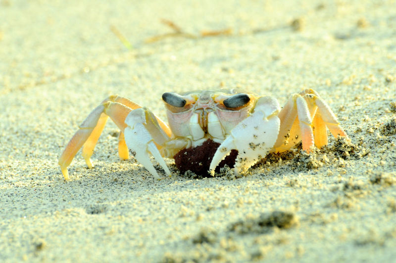crab save the egg Animal Themes Animal Wildlife Animals In The Wild Beach Claw Close-up Crab Day Egg And Crab Hermit Crab No People One Animal Outdoors Sand Sea Life