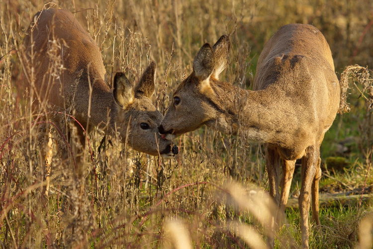 Animal Themes Biesbosch Nature Outdoors Ree Ree Met Kalf Reegeit Roe Deer With Cub Roe Deers Wildlife & Nature Wildlife Photography