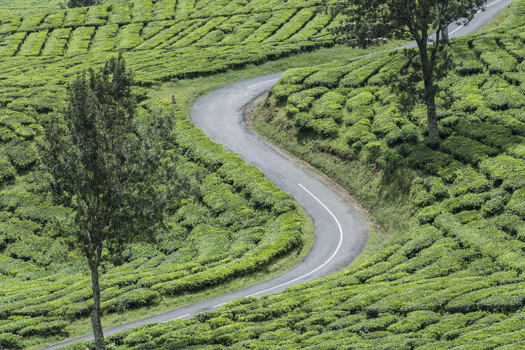 S curve in tea plantation. INDONESIA Tea Curve Rural Scene Agriculture Backgrounds Full Frame Field High Angle View Cereal Plant Crop  Grass Landscape Countryside LINE Farmland Tire Track Agricultural Field Mountain Road Winding Road Grassland Country House Green White Line