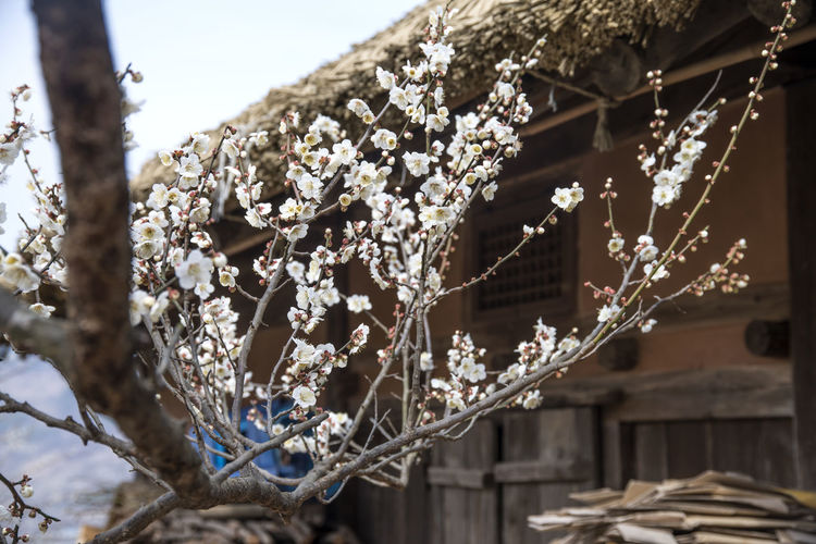 Ume Flower Village in Gwangyang, Jeonnam, South Korea Beauty In Nature Close-up Day Flower Focus On Foreground Fragility Freshness Growth March 2017 Nature No People Outdoors Spring Spring Flowers Tree Ume Flower