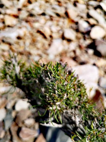 Pinaceae Pine Tree Plant Part Close-up Plant Plant Life Growing