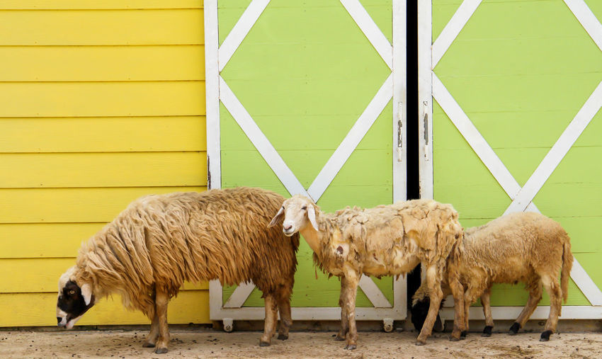 Side View Of Sheep Standing Against Wall