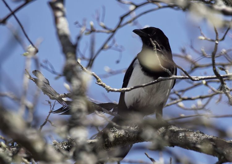 Low angle view of magpie perching on branch