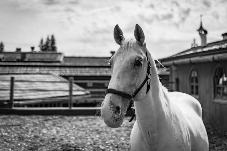 Lipizzaner Horse Lipizzaner Domestic Animals Domestic Mammal Animal Pets Livestock Animal Themes Vertebrate Animal Wildlife Built Structure One Animal Focus On Foreground Building Exterior Working Animal Architecture Sky Day Nature No People Outdoors Herbivorous Animal Head  Ranch