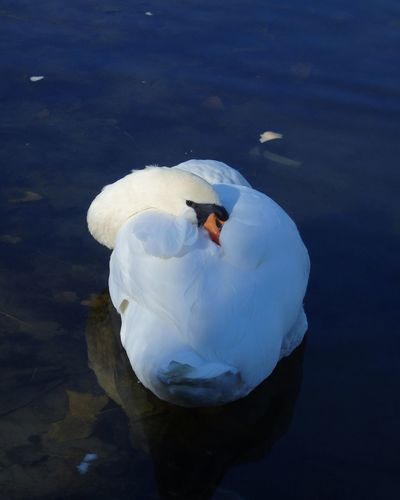 Bird Animal Themes Animals In The Wild Swimming Water Water Bird Swan Nature No People Outdoors Animal Wildlife Rest Resting Lake Swim