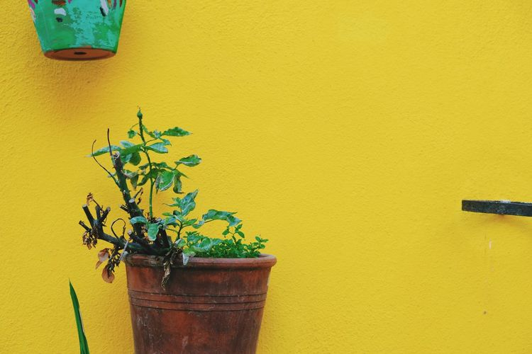 Close-up of potted plant against yellow wall