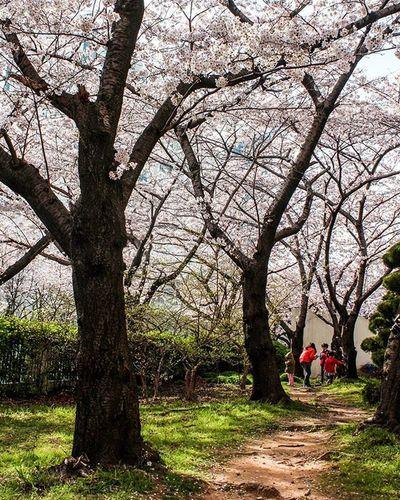 벚꽃,엔딩🙋 광안리 삼익비치 벚꽃 부산여행 부산출사 벚꽃길 벚꽃놀이 꽃 봄 풍경 빈카메라 Cherryblossom Flower Spring Pusan Busan Travel Trip Journey Landscape Snap Bincamera