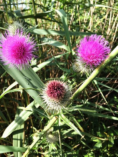 Thistle Thistle Flower Face Eyes Plants And Flowers Nature Pink Flower Weed Looking At Camera Watching You Faces Of Summer Eyes And Nose