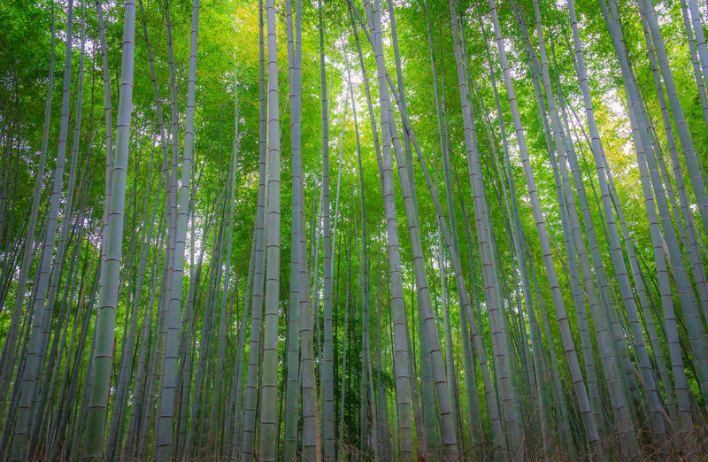Bamboo Forest in Arashiyama Japan Kyoto Arashiyama Arashiyama Bamboo Grove Bamboo Bamboo Forest Forest Tree Plant Land Green Color Beauty In Nature Bamboo Grove Bamboo - Plant Tranquility Growth Tranquil Scene Nature No People Day WoodLand Low Angle View Scenics - Nature Outdoors Non-urban Scene Tree Canopy