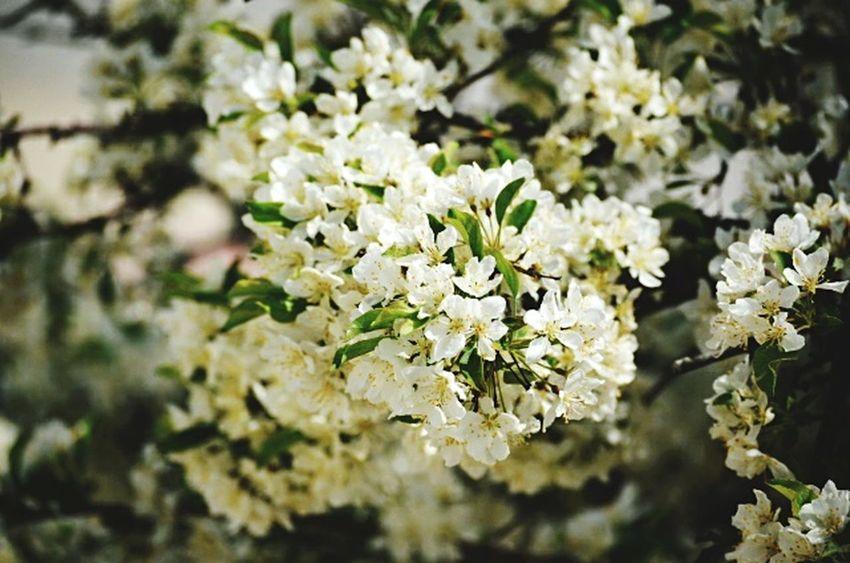 Flower Blossom White Color Springtime Close-up No People